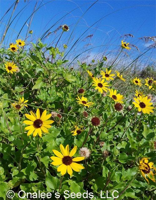 Image 1 of Beach / Dune Sunflower, Beach Daisy, (Helianthus debilis) Groundcover Seeds