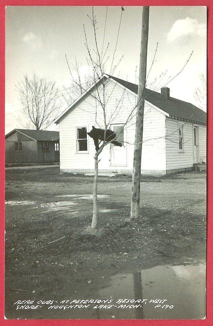 Bear Cub in Tree Peterson's