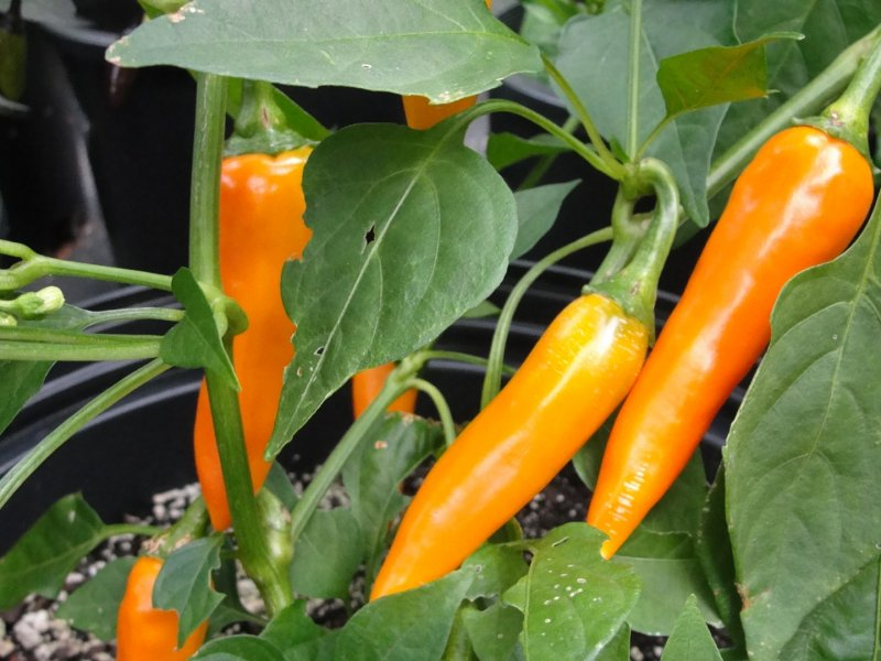Bulgarian peppers, growing them in the garden