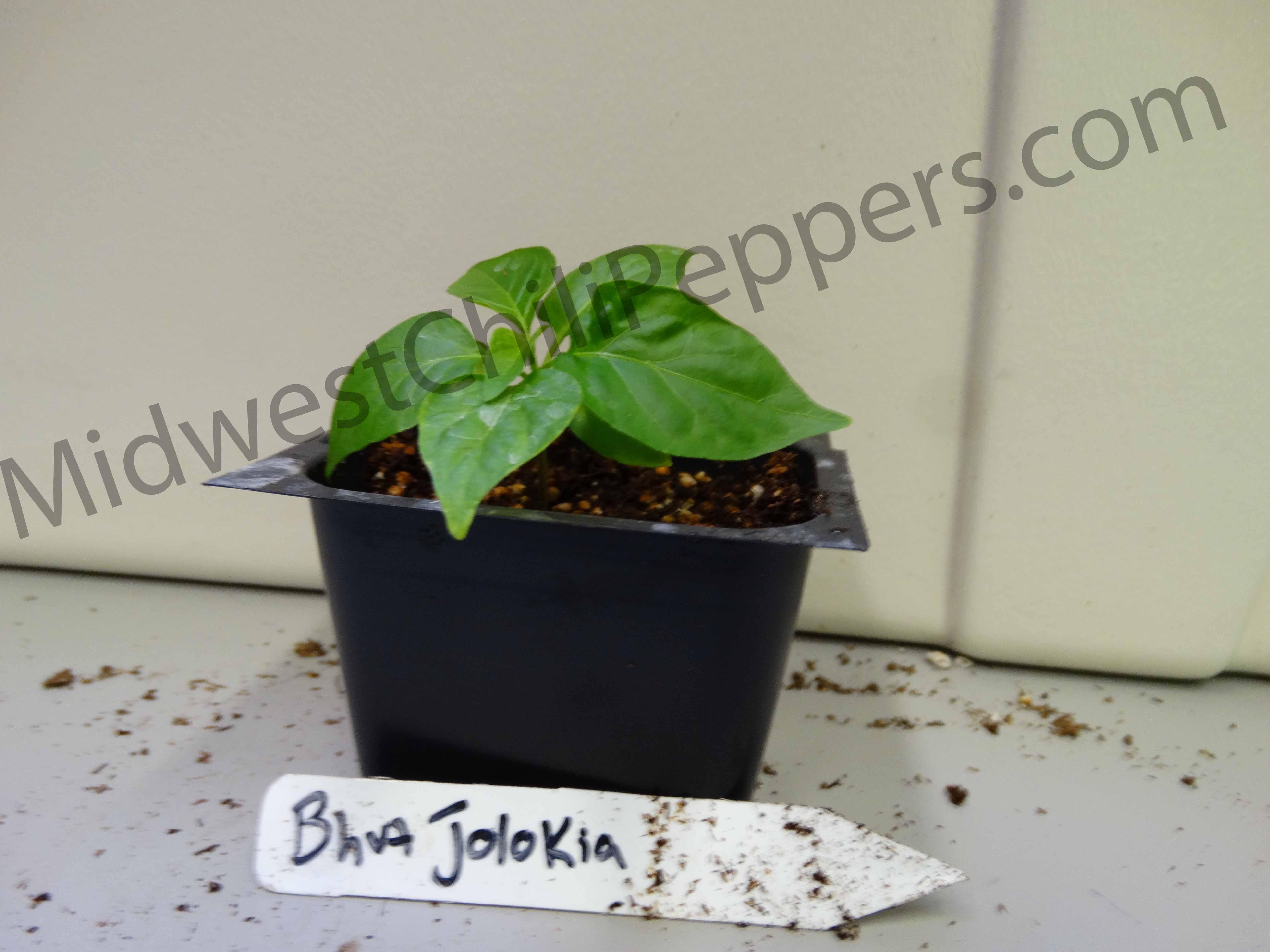 Bhut Jolokia Seedling