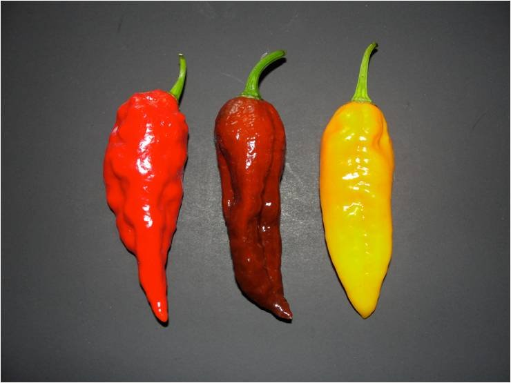 3 colors of Ghost Peppers!