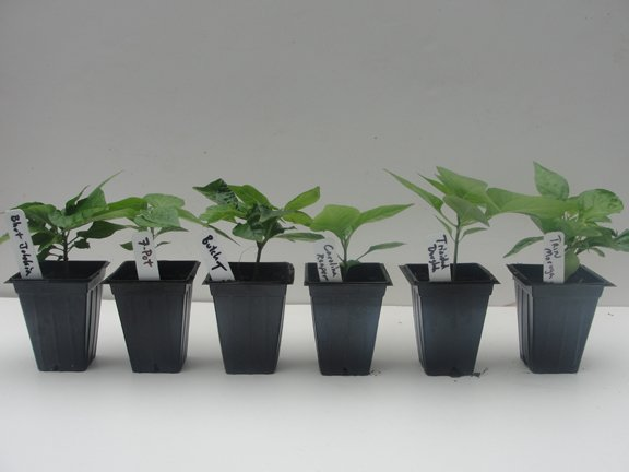 This set includes a total of six plants with one plant each of the Carolina Reaper, Trinidad Moruga Scorpion, Trinidad Douglah, Trinidad Butch-T Scorpion, Trinidad 7-Pot, and the Bhut Jolokia (Ghost P