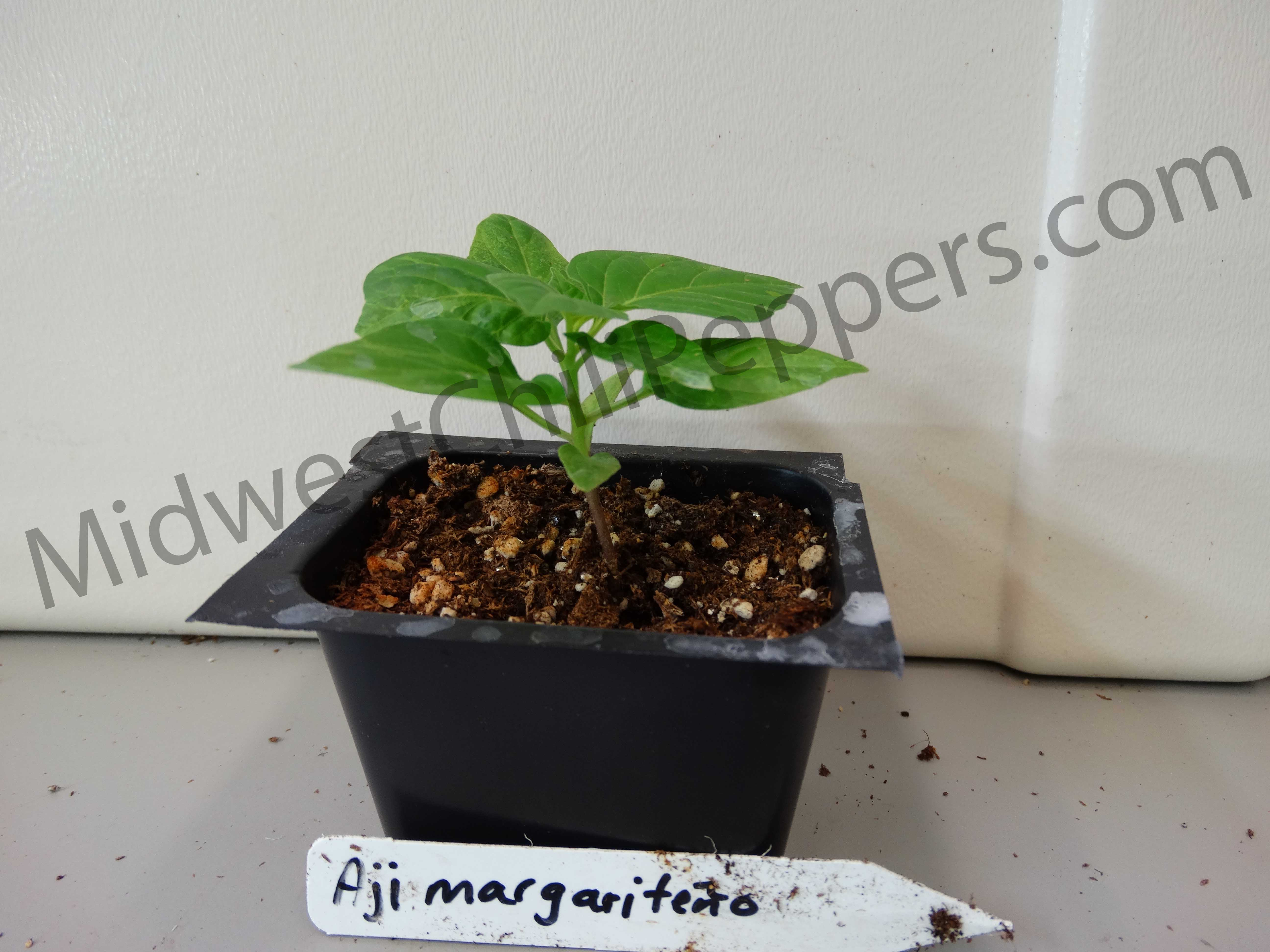 Aji Margariteno Seedling